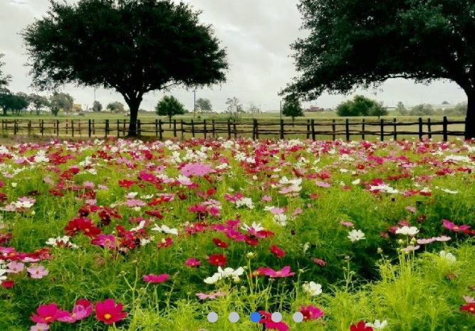 Wildseed Farms Is The Largest Wildflower Farm And Is Outside San Antonio